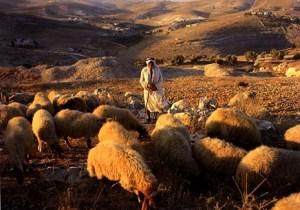 shepherd-sheep